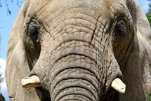 Slon ženu přenesl chobotem do výběhu