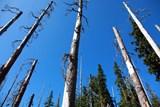 Boj s kůrovcem v lesích na Valašsku pokračuje