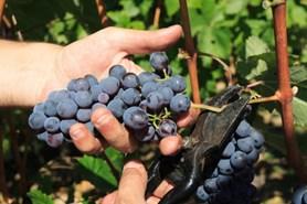 Mrazy po�kodily a� 40 procent vinic. �koda dos�hne minim�ln� miliardy korun