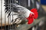 V Moravském Krumlově začalo vyplácení peněz drobným chovatelům za likvidaci drůbeže