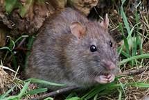 Jihlava předchází přemnožení potkanů