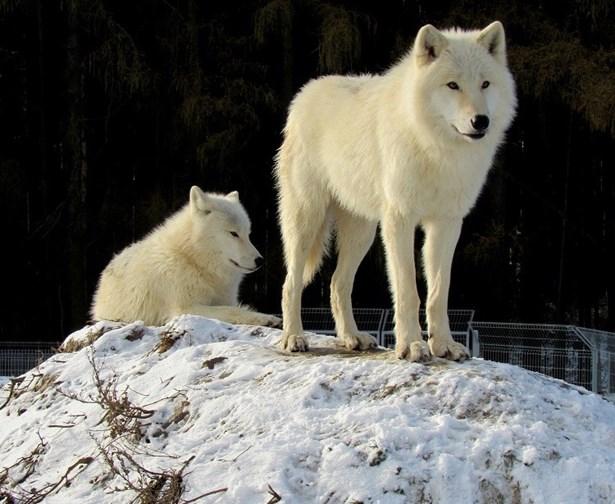 Popis: Vlk arktický.