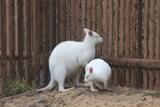 Do ZOO Tábor dorazila bílá klokaní nevěsta