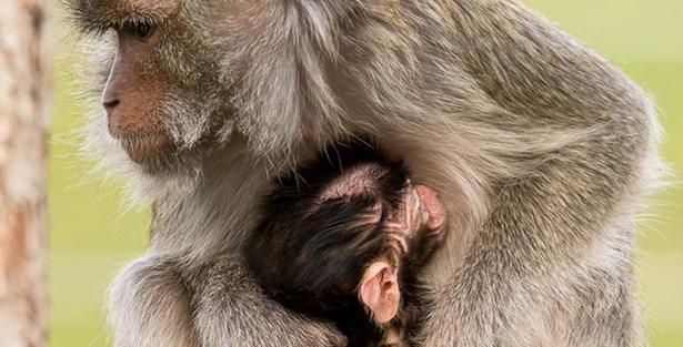 Popis: Tlupa makaků jávských se koncem minulého roku rozrostla o nového člena.