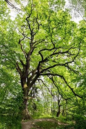 Pra�sk� dub se dostal do fin�le sout�e Strom roku 2016