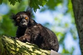 R�j lemur� v Zoo Ostrava