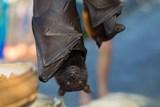 V Týnci nad Sázavou a na Šelmberku můžete o víkendu nahlédnout do světa netopýrů