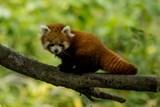 Mládě pandy červené už prozkoumává výběh