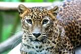 V Zoo Brno se narodila dvojčata levharta cejlonského. Po 17 letech