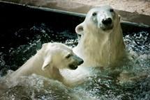 Týden ledních medvědů v Zoo Brno
