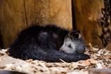 První mládě binturonga v Zoo Ostrava