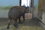 Výměna tapírů v ústecké zoo