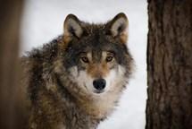 Vlci prozkoumávají naši krajinu. Dalším důkazem je fotografie z Vysočiny