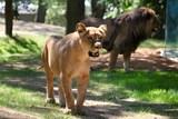 V brněnské Zoo se narodila mláďata lva konžského