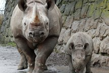 ZOO Dvůr Králové: Emilka je nové jméno pro mládě nosorožce dvourohého