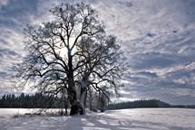 Zelený klenot z Chrudimska sbírá hlasy v Evropském stromu roku