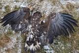 Potvrzeno: orly mořské na Tachovsku zabil karbofuran