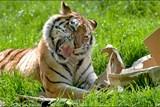 O víkendu se v ZOO Tábor bude slavit: tygr Rocky a lvice Elsa mají narozeniny