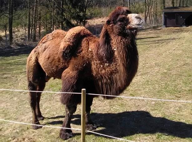 Popis: Dvouhrbý velbloud Jep.