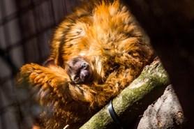 Výměna partnerů se vyplatila: v Zoo Ostrava se narodil vzácný lemur Sclaterův