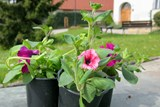 Obyvatelé památkové zóny dostanou sazenice balkonových květin