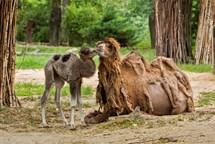 V brněnské zoo se narodil velbloudí kluk a bizoní holka