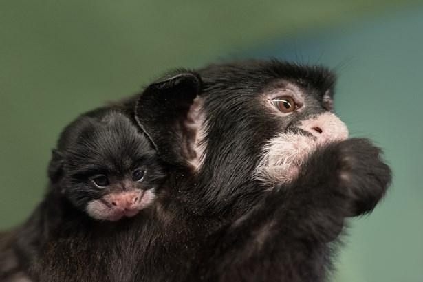 Popis: Mládě vzácného tamarína bělovousého se narodilo v Zoo Praha.