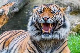 Zoo Brno v sobotu oslaví Mezinárodní den tygrů