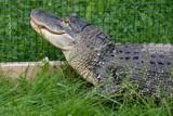 Zoo v Ústí ukázala samici aligátora