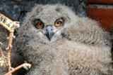 Dva mladí výři ze Zoo Ostrava budou vypuštěni do přírody