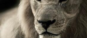 Lev Simba oslaví své sedmé narozeniny s návštěvníky ZOO Tábor