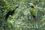Vzácní papoušci ary horské odchovali tři mláďata