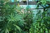 Konopí pěstoval v lese, fóliovníku i na půdě