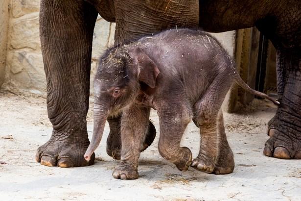 Popis: Mládě slona indického.