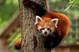 Mezinárodní den pand červených a běh brněnskou zoo