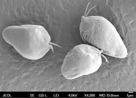 Na výzkum mořského prvoka získali českobudějovičtí parazitologové další americký grant