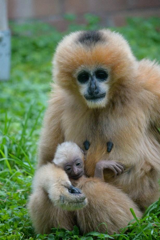 Popis: Samice gibona bělolícího Beaut a její mládě.