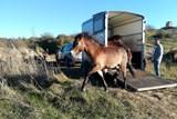 Na Šlovickém vrchu jsou divocí koně