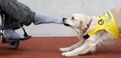 Asistenční psi ze Starého Plzence získali podporu díky netradičním novoročenkám
