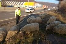 Stádo ovcí ohrozilo projíždějící řidiče, strážníci odvrátili nebezpečí