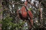 Orangutani, co jedí šišky a žaludy