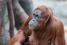 Orangutaní samice Mawar se zotavuje po stomatologickém výkonu