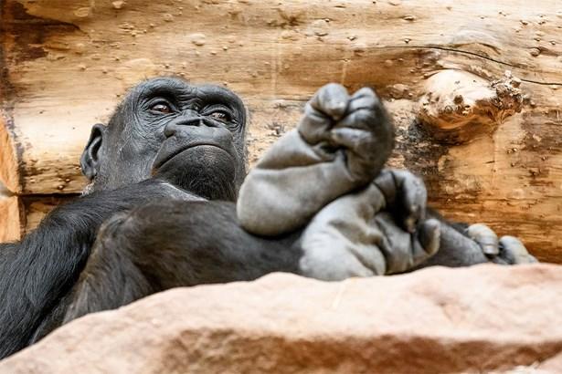 Popis: V neděli 18. března oslaví v Zoo Praha své 25. narozeniny osvědčená gorilí matka Kijivu.