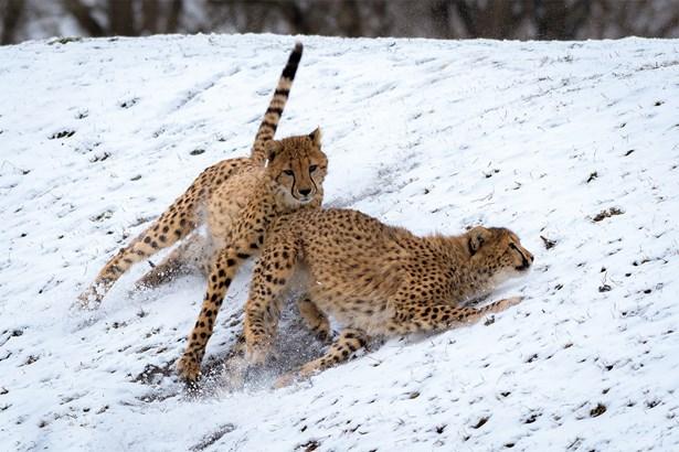 Popis: Ani sníh nezabrání gepardům předvádět návštěvníkům, jak zdatnými běžci jsou.