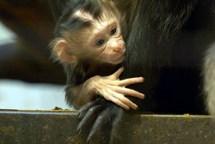 Skupina makaků lvích v Zoo Ostrava se rozrostla