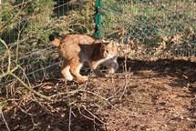 Rys Petr z táborské zoo se dočkal partnerky, Aisha přicestovala z německého Chemnitzu