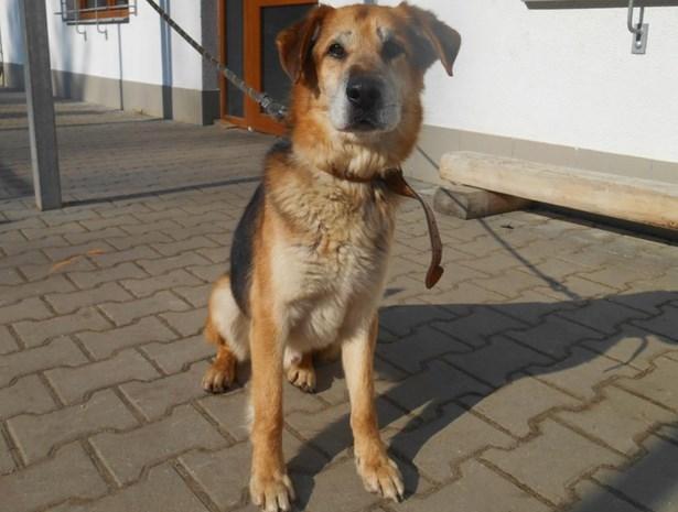 Popis: Lord je velmi temperamentní přátelský kříženec.Moc rád chodí na procházky, má své oddané příznivce, kteří oceňují jeho dobrou psí duši.Je to pes vhodný především k domku se zahrádkou.Byl odebrán z nevyhovujících podmínek.