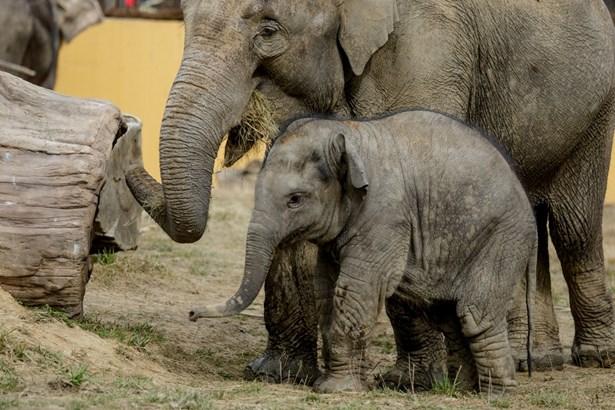 Popis: Sloni v Zoo Ostrava.