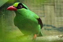 Odneste starý dalekohled do zoo a pomozte zachránit kriticky ohrožené pěvce v Indonésii