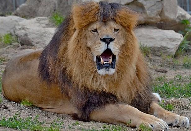 Popis: Lev pustinný v zoo Tábor.